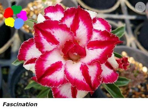 Flor Dobrada - Kit com 3 sementes - Fascination - Chang Ping