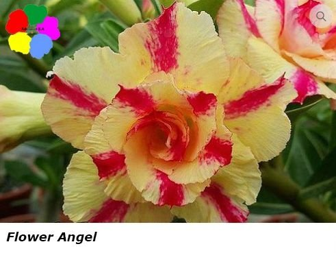 Flor Dobrada - Kit com 3 sementes - Flower Angel - Chang Ping