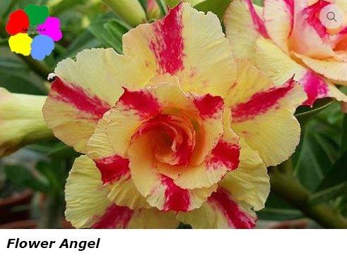 Flor Dobrada - Kit com 3 sementes - Flower Angel - Chang Ping