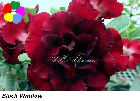 Flor Tripla - Kit com 3 sementes - Black Window - Chang Ping