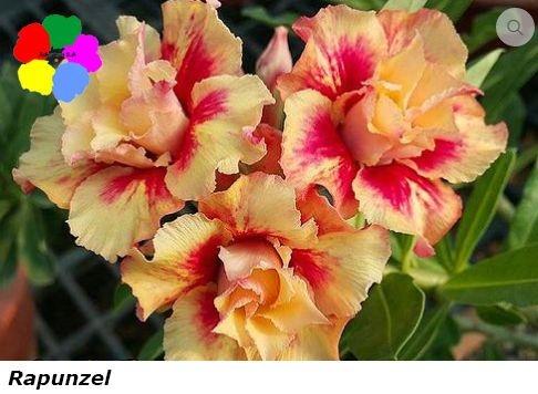 Flor Dobrada - Kit com 3 sementes - Rapunzel - Chang Ping