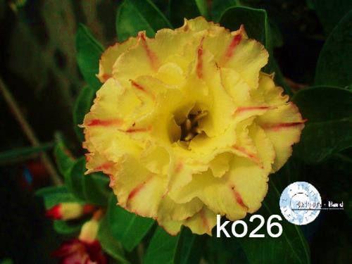 MIX flores simples, dobradas e triplas - Kit com 5 sementes - Mr. Ko