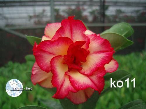 MIX flores simples, dobradas e triplas - Kit com 100 sementes - Mr. Ko