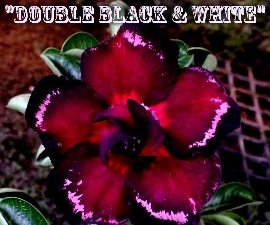 Double Black & White - Kit com 3 sementes - Adenium King