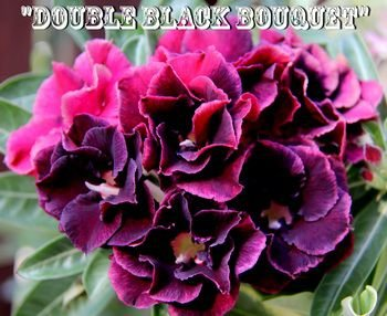 Double Black Bouquet - Kit com 3 sementes - Adenium King