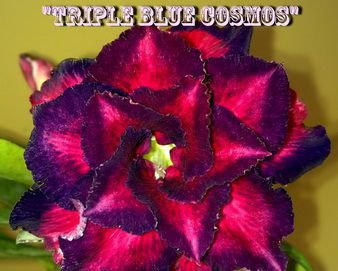 Triple Blue Cosmos - Kit com 3 sementes - Adenium King