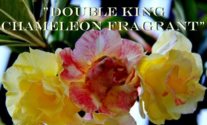 Double King Chameleon Fragrant - Kit com 3 sementes - Adenium King