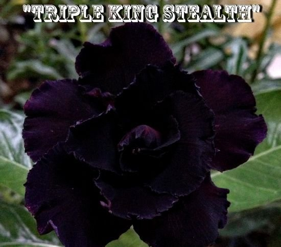 Triple King Stealth - Kit com 3 sementes - Adenium King