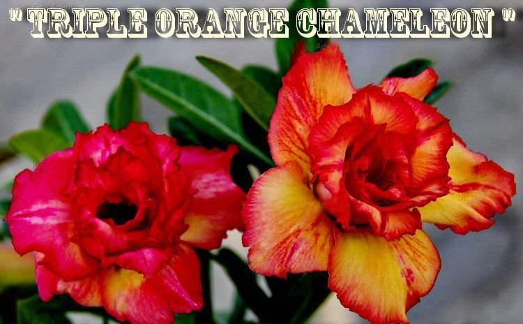 Triple Orange Chameleon - Kit com 3 sementes - Adenium King