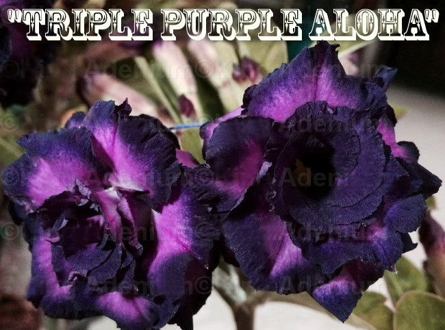 Triple Purple Aloha - Kit com 3 sementes - Adenium King