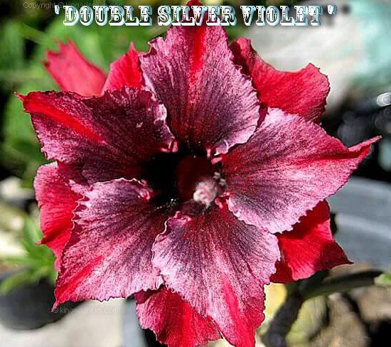Double Silver Violet - Kit com 3 sementes - Adenium King