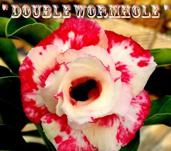 Double Wormhole - Kit com 3 sementes - Adenium King