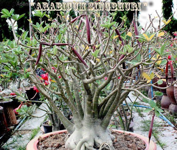 Adenium Arabicum - Kit com 3 sementes - Singbhuri - Adenium King