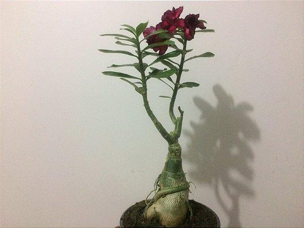 Planta adulta de Rosa do Deserto de enxerto com flor Tripla na cor Uva