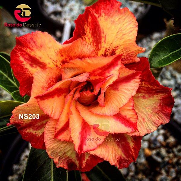 Enxerto de uma cor com flor Tripla - NS203 (Julius Caesar)