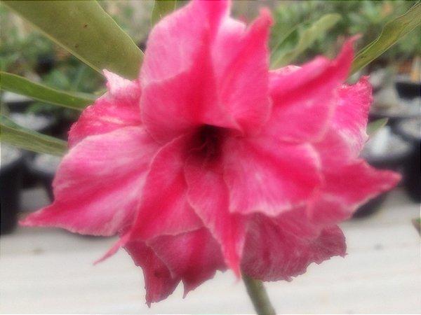 Enxerto de uma cor com flor Tripla - L10