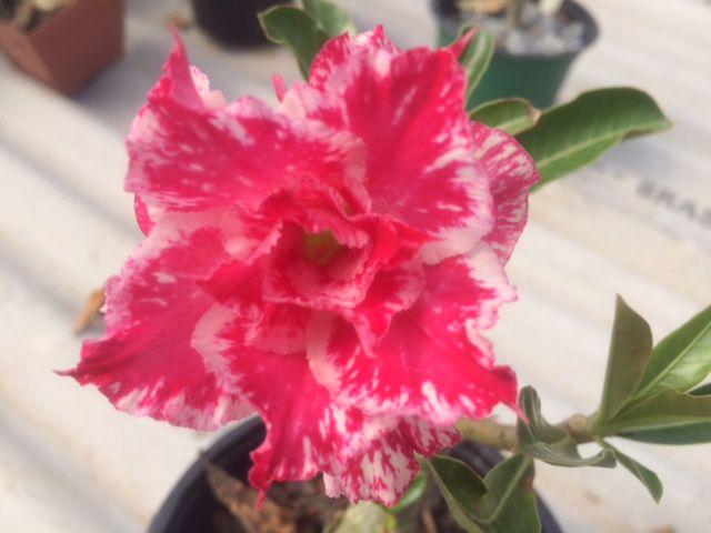 Enxerto de uma cor com flor Tripla - EV319