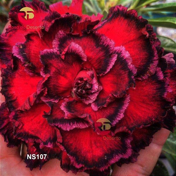 Enxerto de uma cor com flor Sétima - NS107 (Seven Heaven)