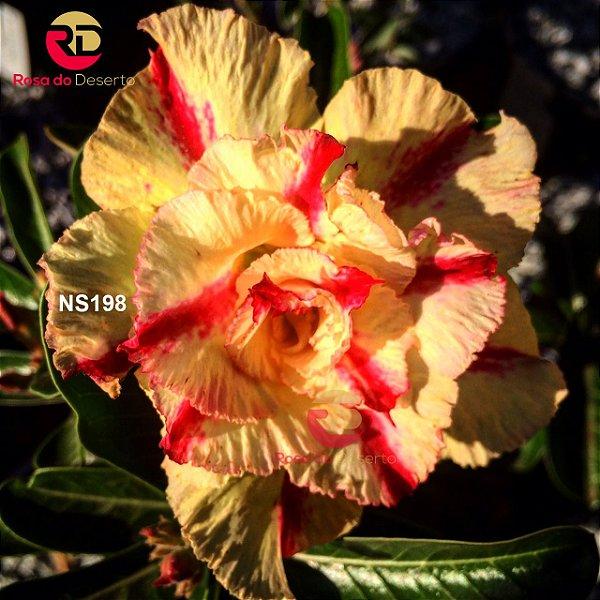 Enxerto de uma cor com flor Tripla - NS198 (Flower Angel)