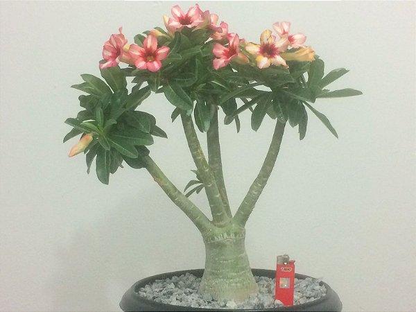 Exemplar Camaleão (muda de cor) com flor Simples - Sugar Maple