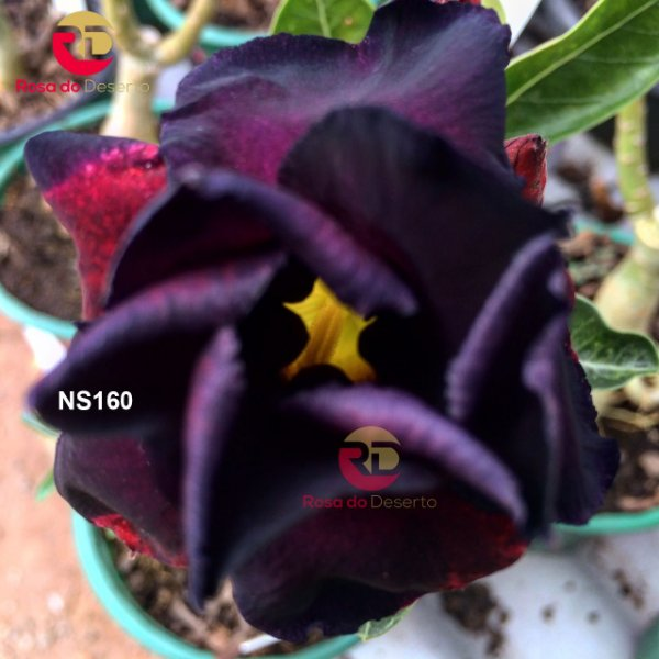MATRIZ de cor negra com flor dobrada - NS160