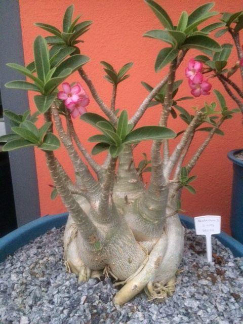 Rosa do Deserto - Adenium Arabicum Adulta - 6 Anos