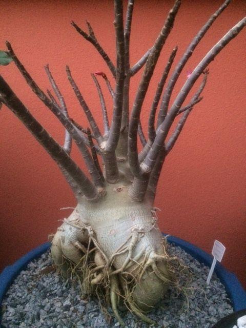 Adenium Arabicum Adulta - 8 Anos