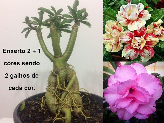 Planta com 2 + 1 cores. Enxerto com flores dobradas e triplas