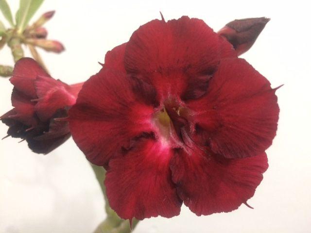 Enxerto Rosa do Deserto de uma cor com flor dobrada