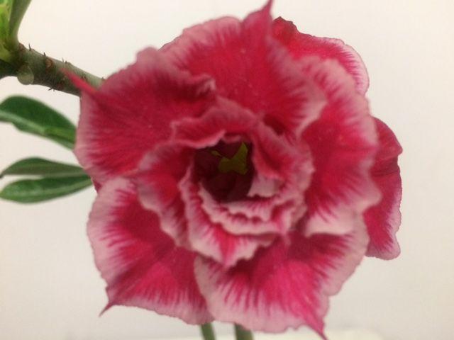 Enxerto Rosa do Deserto de uma cor com flor tripla - Santa Claus