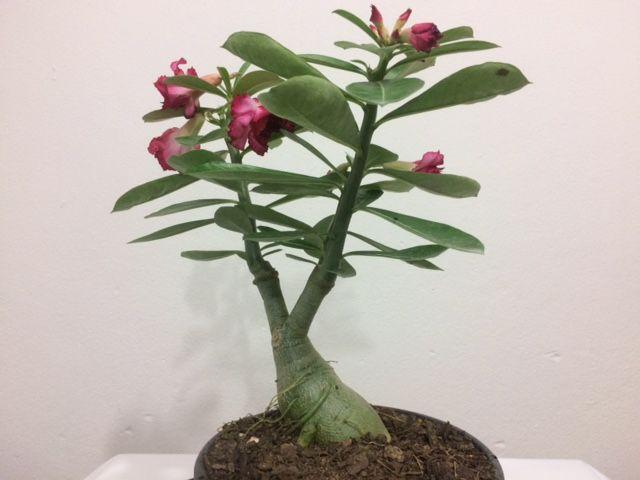 Enxerto Rosa do Deserto de uma cor com flor tripla