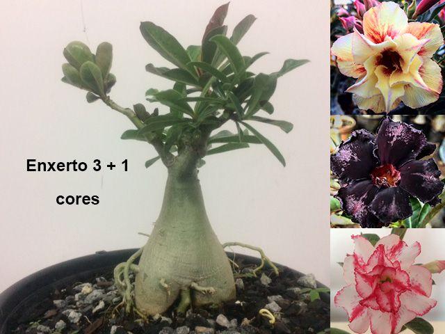 Planta com 3 + 1 cores. Enxerto com flores dobradas e triplas