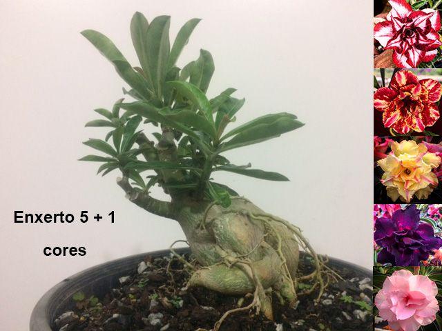 Planta com 5 + 1 cores. Enxerto com flores dobradas e triplas