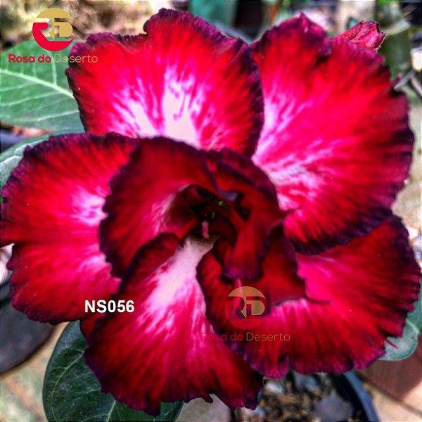 Enxerto de uma cor com flor Tripla - NS056 (Winter Tale)