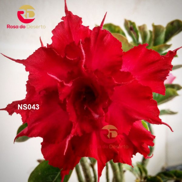 Enxerto de uma cor com flor Tripla - NS043