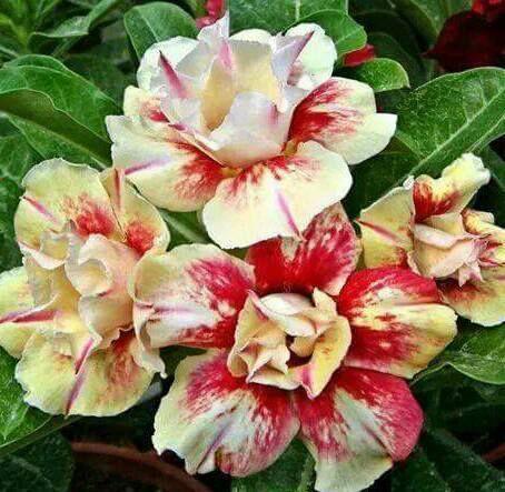 Enxerto de uma cor com flor dobrada - Egg Roll