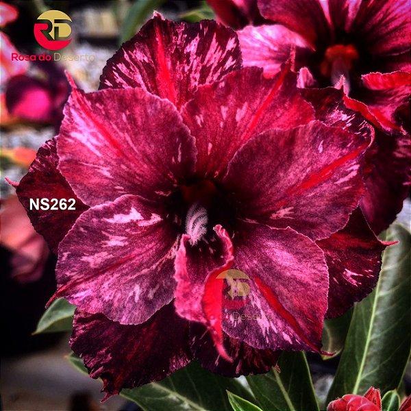 Enxerto de uma cor com flor Dobrada - NS262 (Sabah Night)