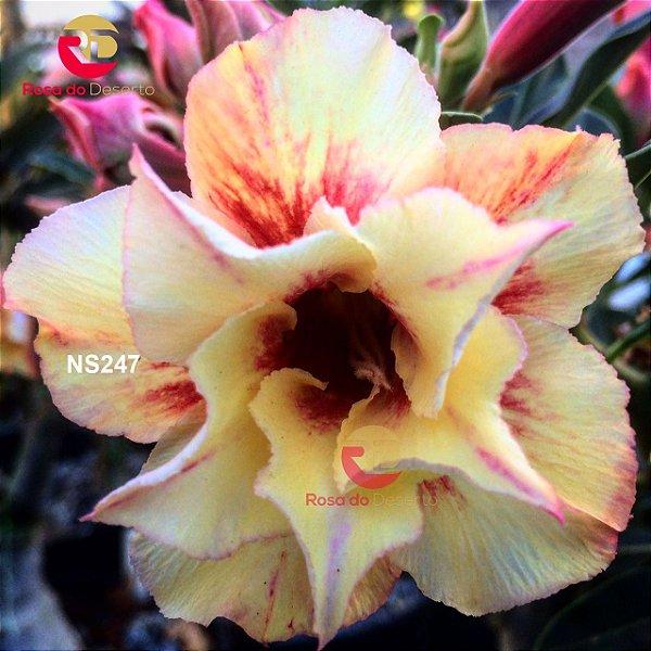 Enxerto de uma cor com flor Dobrada - NS247 (Rapunzel)