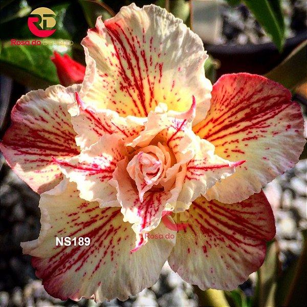 Enxerto de uma cor com flor Triplas - NS189 (Eiffel)
