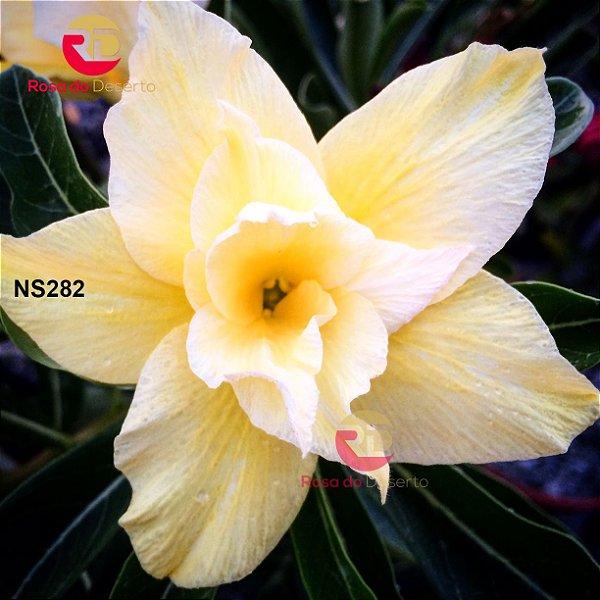 Enxerto de uma cor com flor Dobrada - NS282