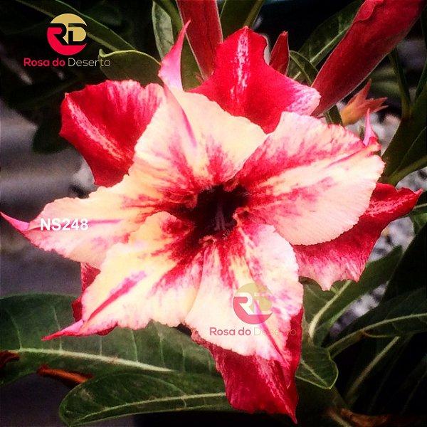 Enxerto de uma cor com flor Dobrada - NS248 (Secret Angel)