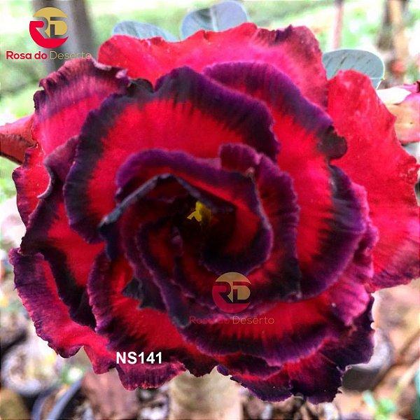 Enxerto de uma cor com flor Tripla - NS141 (Shanghai Night)