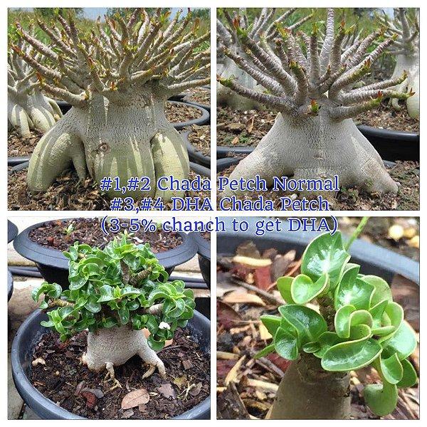 Adenium Thai Socotranum Chada Petch 3 a 5% DHA - Kit com 50 sementes