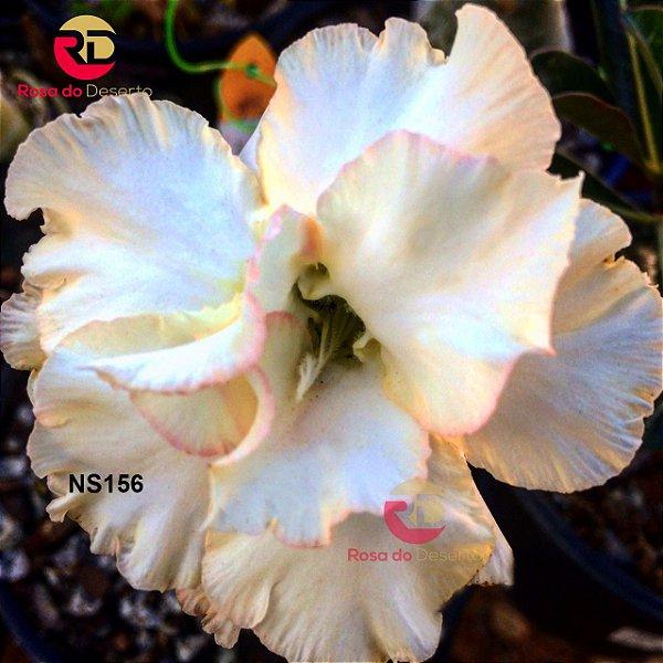 Enxerto de uma cor com flor Dobrada - NS156 (Romantic Night)