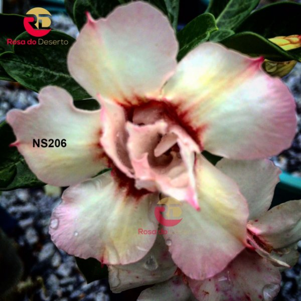 Enxerto de uma cor com flor Dobrada - NS206 (Samuume)