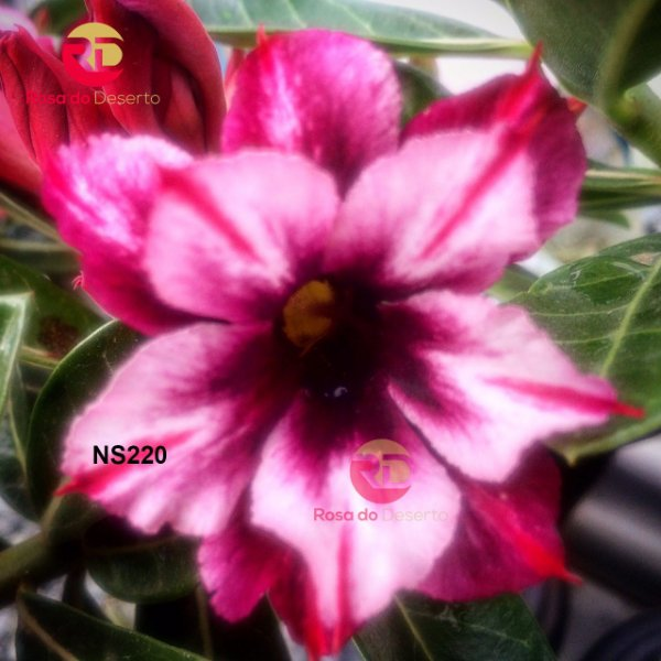Enxerto de uma cor com flor Dobrada - NS220 (Love Waltz)
