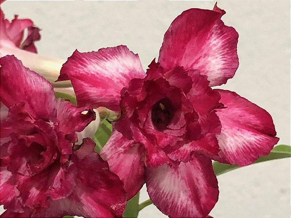 Enxerto Rosa do Deserto de uma cor com flor Tripla na cor Matizada