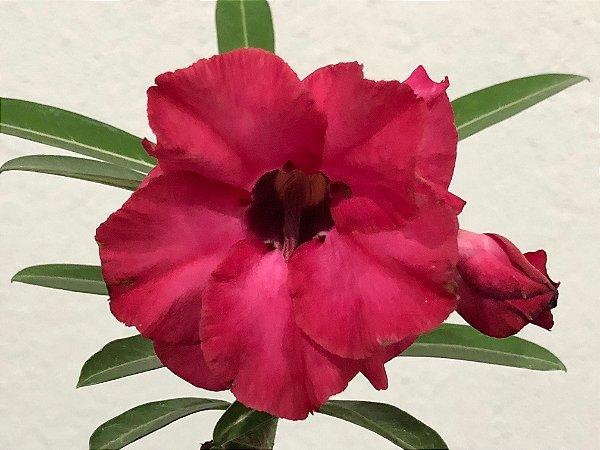 Enxerto Rosa do Deserto com flor dobrada vermelha