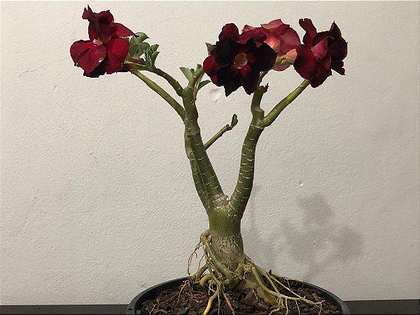 Planta adulta de Rosa do Deserto de enxerto com flor Dobrada na cor vermelha com preto