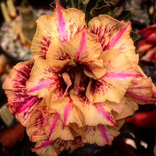 Enxerto Rosa do Deserto de uma cor com flor Tripla. Goden Faith